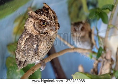 Portrait Of A Two Cute Young Eagle Owls. Two Owls Are Sitting On A Branch In The Tree. Surprised Lon