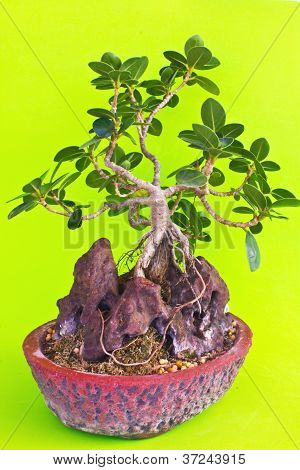 Bonsai Tree On Stone With Green Background