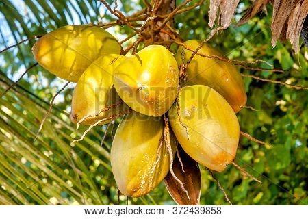 Coco De Mer (lodoicea Maldivica), Praslin, Seychelles