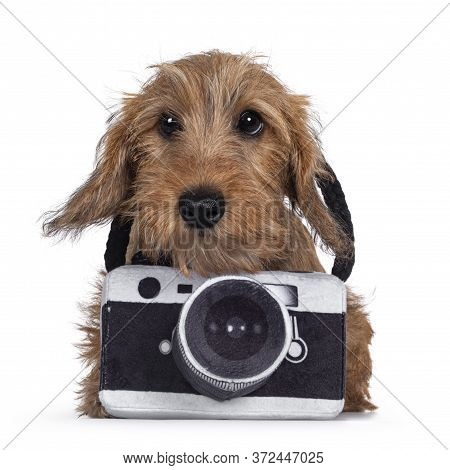 Adorable Wirehair Kanninchen Dachshund Pup, Wearing Toy Photo Camera Around Neck. Looking Straight A