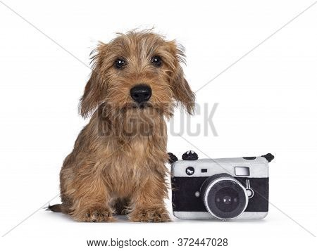 Adorable Wirehair Kanninchen Dachshund Pup, Sitting Beside Toy Photo Camera. Looking Straight At Cam