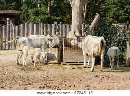 Hungarian grey cattle eating outdoors. Photo taken in ZOO poster