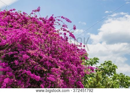 Pink Purple Bougainvillea Spectabilis  Blooming. Thorny Wild Tropical Vine Plant With Green Leaves.