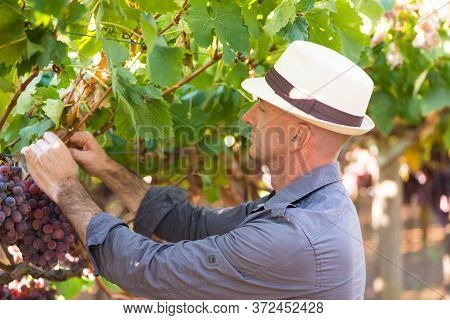 Gardener Picking Ripe Red Grapes From Grapevine With Green Leaves. Traditional Winery Ecological Far