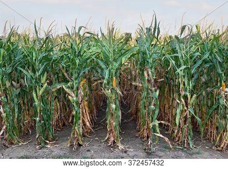 Ripe Maize (corn) On A Corn Field In Summer