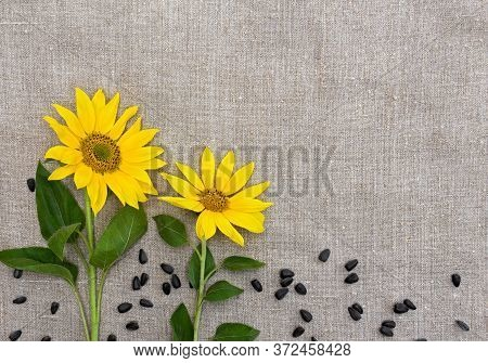 Flowers And Seed Of Sunflower On Coarse Cloth Background With Space For Text. Top View, Flat Lay