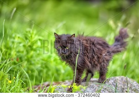 Old Black Cat In Grass Close Up