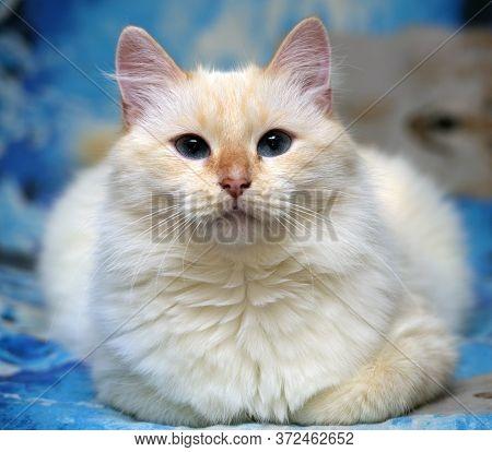 Cute White Fluffy Thai Cat Close Up