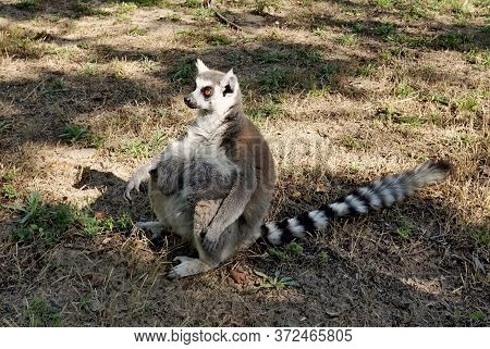 Lemur With A Huge Belly And A Long Tail.