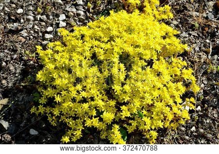 Bright Yellow Small Flowers, Sedum, Caustic Grow On Rocky Ground In Sunny Weather.