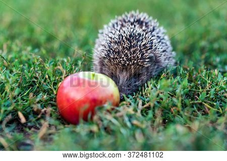 Prickly Hedgehog On A Green Grass Near The Apple