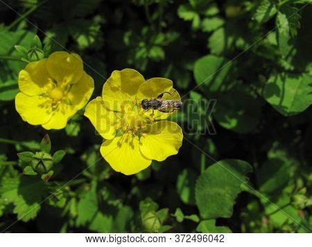 Close Up Of Ranunculus Asiaticus Flower With An Insect On Green Background. Marsh Crowfoot Flower, I