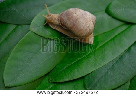Snail Close-up On Green Leaves Background.snail Slime And Mucin .environment And Wildlife Concept.la