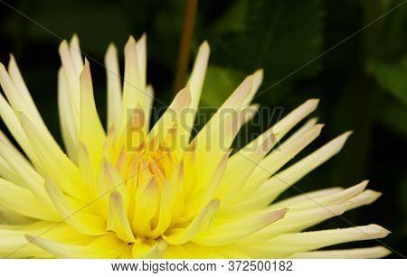 Early Autumn Chrysanthemum Flowers On Green Blurred Background. Colorful Chrysanthemum Pattern In Ga