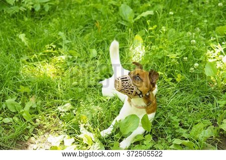 Dog Jack Russell Terrier Walks On The Green Grass. A Domestic Dog Walks On The Grass. The Dog Lies O