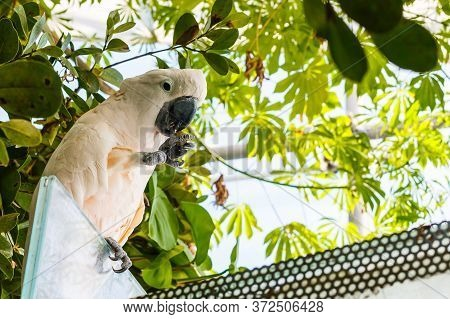 Cacatua Galerita - Sulphur-crested Cockatoo Sitting On The Branch. Big White And Yellow Cockatoo Wit