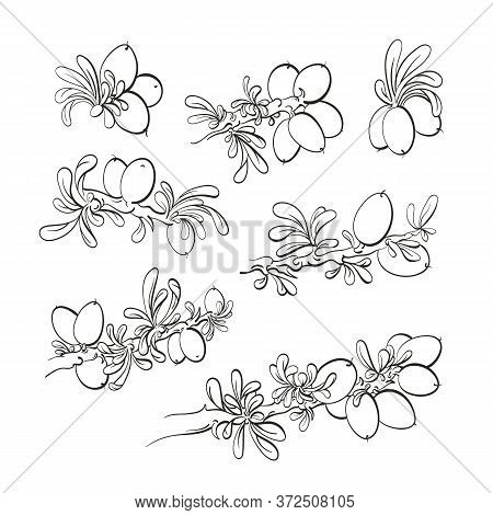 Argania Tree Set. Vector Graphic Sketch. Oil Bean, Texture Leaf, Herbal Plant. Art Line Ink Engravin