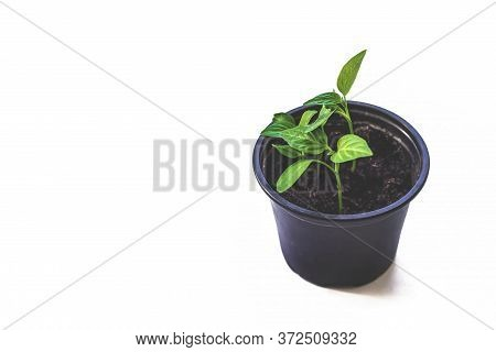 Seedlings Are Growing From Arid Soil With Morning Sun Is Shining, Concept Of Global Warming. Plant G