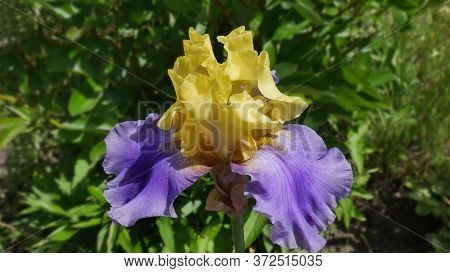 The Flower Of Tall Bearded Bicolor Yellow-blue Iris Varieties Edith Wolforg. An Image Closeup.