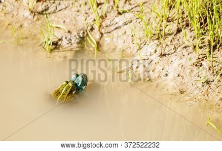 Two Green Frogs Copulate In A Pond On Sunny Summer Day