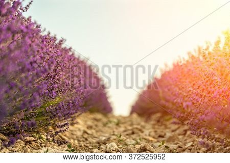Lavender Flower Blooming Scented Fields In Endless Rows On Sunset. Selective Focus On Bushes Of Lave