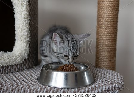 Small Grey Striped Kitten Eating Form The Plate On The Cats Tree In The Living Room. Pets Climbing A