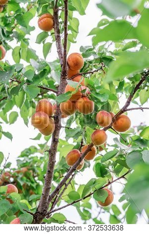 Lot of ripe apricots on the orchard tree. Sky at the background.