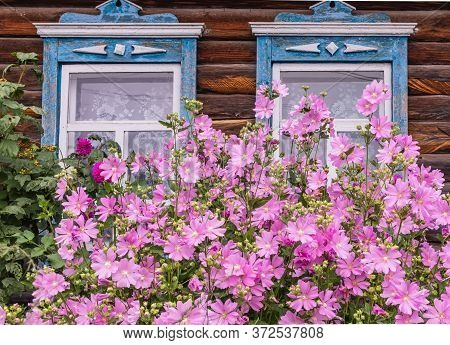 Two Window With Old Wood Shabby Blue Platbands In The Village House. Mallow Bush With Delicate Pink