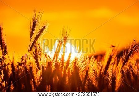 Field With Wild Grasses At Sunset. Selective Focus. Summer Landscape, Rural Nature. Grass Backlitght