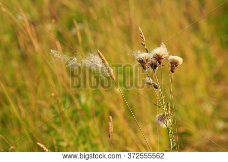 Photo Of Field Spikelets With Fluff In The Wind