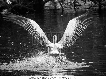 Great White Pelican Landing Over The Lake Water. India. Flying Pelicans - Water Bird