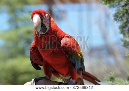 Beautiful Colorful Parrot With Colors Of Green, Orange, Red, Yellow And Blue