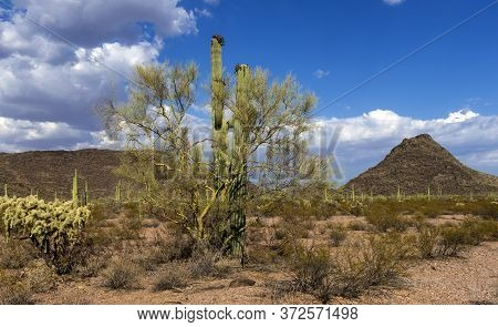 Cylindropuntia Fulgida With Fruits And Creosote Bush In A Desert.  Organ Pipe Cactus National Monume