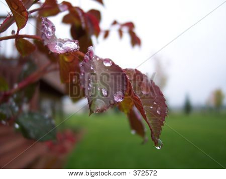 Water Droplets On Rose Leaves