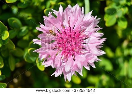 Pink Bachelor's Button Flower With A Bee On It