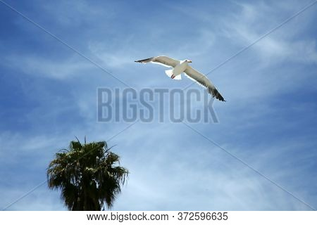 Seagull. A Seagull flying in the blue sky.
