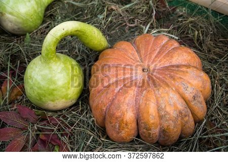 Decorative Pumpkin Varieties Lagenaria (bottle) And Muscat De Provence On The Background Of Yellow L