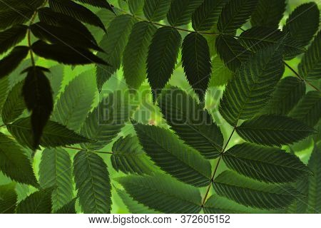 Dark Green Mystical Floral Plant Background. Foliage Of Meadowsweet Close-up. Magical Mysterious Spe