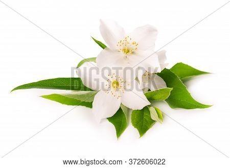 Jasmine Flowers Isolated On White Background. Jasmine Branch.