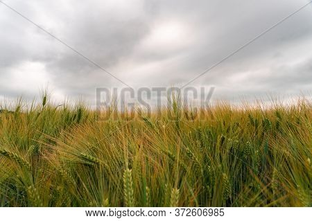 Golden Barley (hordeum Vulgare) Growing On A Field. Dramatic Sky.