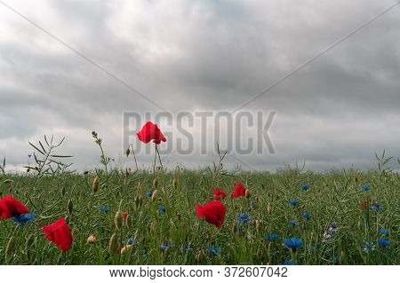 Red Poppy Flowers Sticking Out Above Field Foliage. Dramatic Sky.