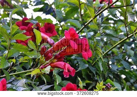 Cluster Of Campsis Orange, Trumpet-shaped Flowers Against Their Dense, Dark Green Foliage. Tecoma Or