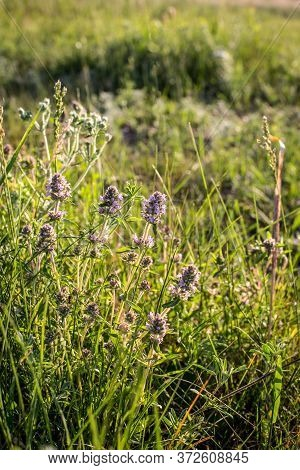 In The Field Of Growing Medicinal Herbs And Wild Thyme. Thyme Flowers In Nature. Thyme Is Widely Use