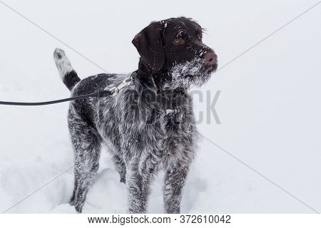 Cute Deutsch Drahthaar Is Standing On A White Snow In The Winter Park. Pet Animals.