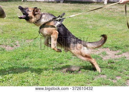 Training A Police Dog In Cynological Club. German Shepherd Dog In Action.