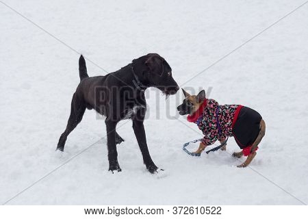 Cute Deutsch Drahthaar And Belgian Sheepdog Puppy Is Playing On A White Snow In The Winter Park. Pet