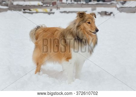 Cute Scotch Collie Is Standing On A White Snow In The Winter Park. Pet Animals.
