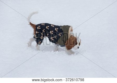 Cute Cavalier King Charles Spaniel Puppy Is Walking On A White Snow On The Winter Park. Pet Animals.