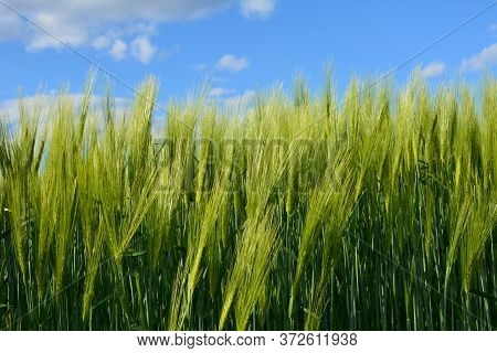 Barley Grain Is Used For Flour, Barley Bread, Barley Beer, Some Whiskeys, Some Vodkas, And Animal Fo