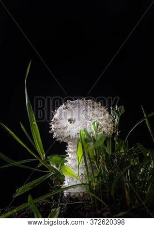Close-up Of Beautiful White Young Amanita Mushroom On Black Background. It Is A Rare Variety Of Aman
